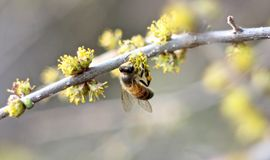 Bee on a Yellow Bud Stock Photography