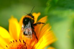 Bee on the yellow camomile royalty free stock photography