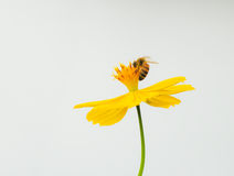 Bee on yellow Cosmos flower Stock Images