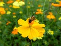 Bee on yellow cosmos flower stock photos