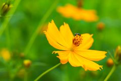 Bee on yellow Cosmos sulphureus Cav flowers. royalty free stock image