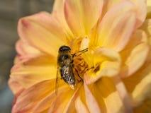 Bee on yellow Dahlia Stock Photo