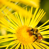 Bee on Yellow Daisy Royalty Free Stock Photography
