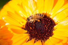 Bee Royalty Free Stock Photo