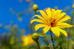 A bee on yellow daisy flower. In the gardenn stock photo
