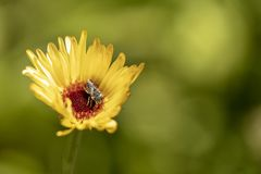 Bee on a yellow daisy flower royalty free stock photography