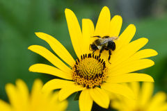 Bee on yellow daisy shallow DOF Royalty Free Stock Photography