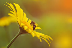 Bee on a yellow daisy in sunset background. Royalty Free Stock Images