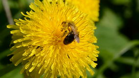 Bee on yellow dandelion blossom Stock Photography
