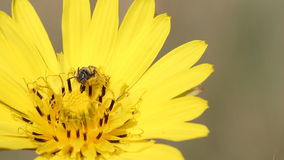 Bee on yellow dandelion Stock Image