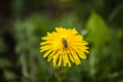 Bee on yellow dandelion close up and green grass in the background Royalty Free Stock Photography