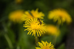 Bee on yellow dandelion close up and green grass in the background Stock Photos