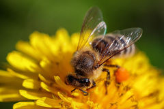 Bee on a yellow dandelion  flower collecting pollen and gatherin. G nectar to produce honey in the hive Stock Photos