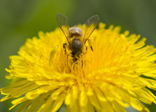 Bee on a yellow dandelion flower collecting pollen Stock Image