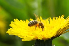Bee on a yellow dandelion 4 Stock Images