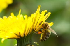 Bee on a yellow dandelion 2 Royalty Free Stock Images