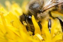 Bee on yellow dandelion Stock Photos
