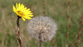 Bee and yellow dandelion Royalty Free Stock Photography