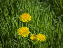 Bee on a yellow dandelion in the meadow Stock Image