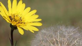 Bee on yellow dandelion stock video