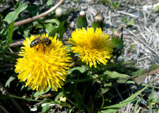 Bee on a yellow dandelion in a summer or spring sunny day. Close-up, macro photography Stock Photo
