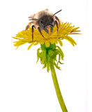 Bee and yellow dandelion on white. Bee on isolated yellow bright dandelion royalty free stock images