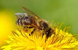 Bee on yellow dandelion. Stock Photos