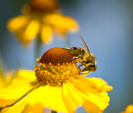 A bee on the yellow flower Stock Image