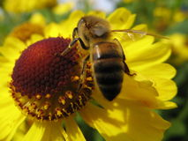 Bee and a yellow flower. A bee on a yellow and brown flower of helenium on an autumn day royalty free stock images