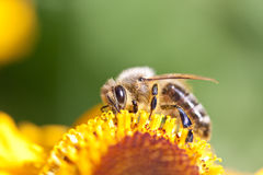 Bee on a yellow flower Royalty Free Stock Photos