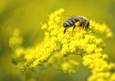 Bee on yellow flower Royalty Free Stock Photos