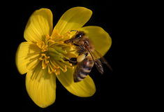 Bee on yellow flower. With black background stock photos