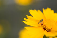 Bee on yellow flower royalty free stock image