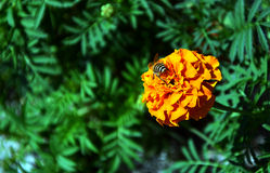 Bee and yellow flower Royalty Free Stock Photo