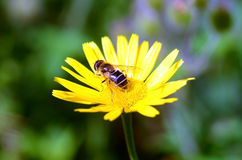 Bee. A bee in a yellow flower Royalty Free Stock Images