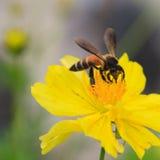 Bee on yellow flower background Stock Photo