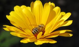 Bee in yellow flower. The bee in the yellow flower on dark green background Royalty Free Stock Images