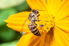 Bee and yellow flower Royalty Free Stock Image