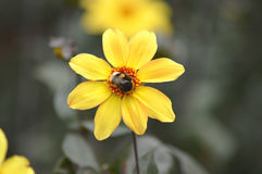 Bee on a yellow  flower Royalty Free Stock Images