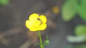 Bee on yellow flower. Bee on yellow Buttercup flower stock video