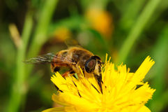 Bee on yellow flower. Royalty Free Stock Image
