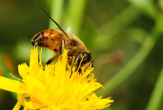Bee on yellow flower. Bee on yellow flower close-up. The background is blurred Stock Image
