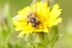 Bee on yellow flower. A closeup of a bee on yellow flower Royalty Free Stock Images