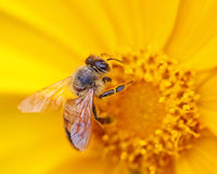 Bee on a Yellow Flower Royalty Free Stock Image
