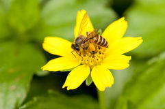 Bee on yellow flower. Bee is collecting nectar on a yellow flower Royalty Free Stock Photography