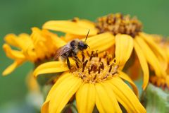 Bee on a yellow flower Royalty Free Stock Photography