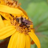 Bee on a yellow flower Stock Images