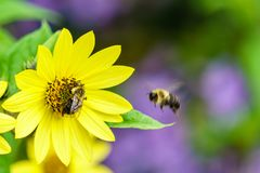 Bee on yellow flower collecting nectar summer scene. Royalty Free Stock Image