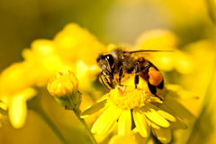 Bee on a yellow flower. Collecting pollen Stock Photos