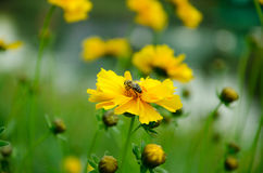 Bee on yellow flower. The bee on a yellow flower collects nectar Royalty Free Stock Images